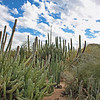 Candelabra cacti.