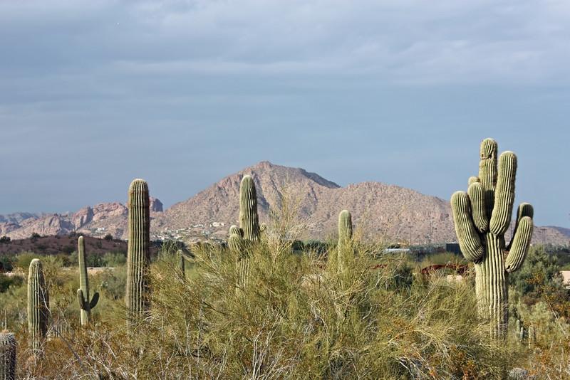 Saguaros against a mountain backdrop. (Phoenix)
