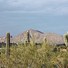 Saguaros against a mountain backdrop. (Phoenix)