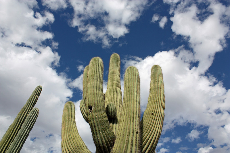It takes 65 years for the Saguaro to grow its 1st 'arm'. Woodpeckers & other small animals make their homes in the Saguaro.