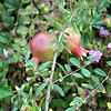 Pomegranates growing near the pool at the Montelucia. (Scottsdale, AZ)