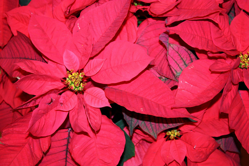 Christmas Poinsettias.