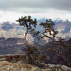 Solitary tree. (Grand Canyon)