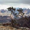 Solitary tree. (Grand Canyon)