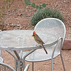 A beautiful little bird looking for scraps of food at the Desert Botanical Garden in Phoenix.