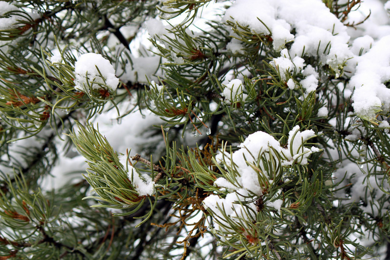 Snow covered pines.