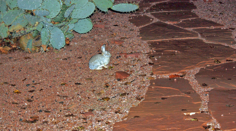 A bunny calmly sitting outside our bed & breakfast in Sedona. (Adobe Hacienda)