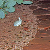A bunny calmly sitting outside our bed & breakfast in Sedona. (Adobe Hacienda)