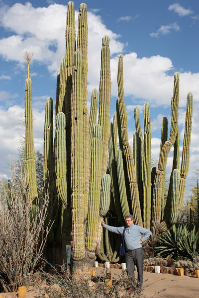 Mammoth cacti at the Desert Botanical Garden in Phoenix.