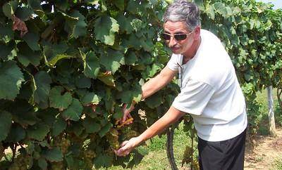 Bob harvesting the grapes