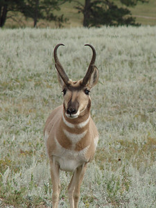 Pronghorn (antelope)in South Dakota