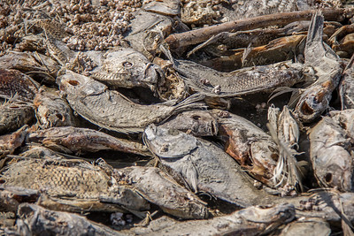 The Salton Sea - Dead  fish on shoreline.  228 Ft below sea level