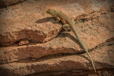 Horseshoe Bend Lizard