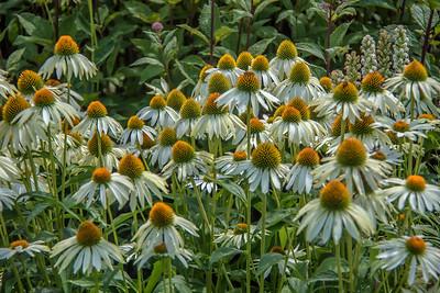flowers, coneflowers, white,