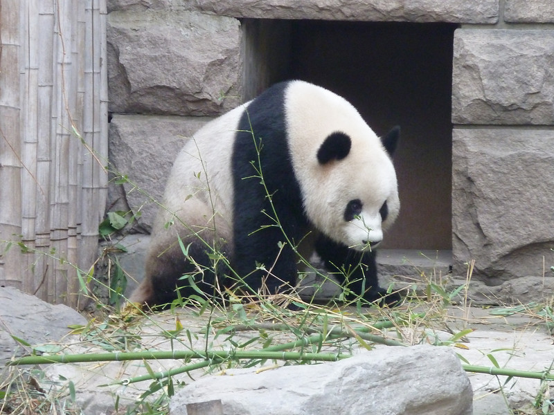 Panda at Beijing Zoo