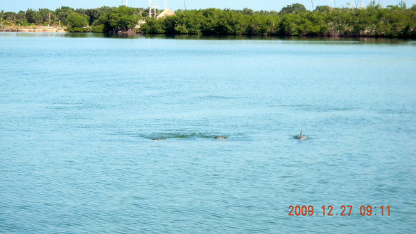 A group of 3 dolphins swimming right by our boat