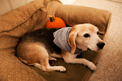 Charlie the 12 yr old Beagle from the Northey B&B, Salem.