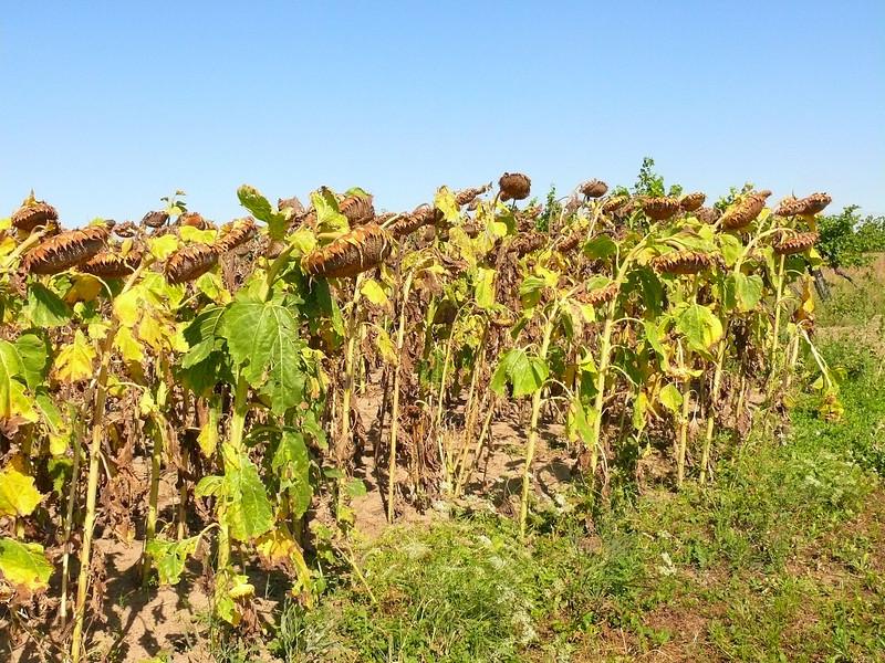 8-31-2007 Into Moravia - Sunflowers
