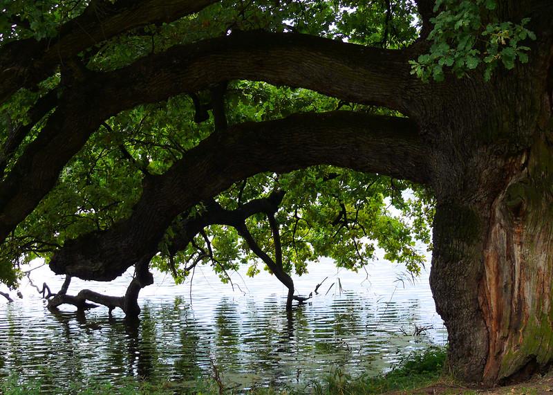 8-31-2007 Into Moravia - Castle Lednice - Old Oak Tree