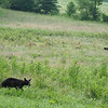 Yearling bear running around while mom hangs out in the background.