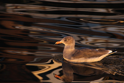 Heermann's Gull in morning light