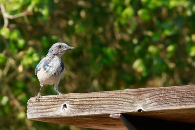 Western Scrub Jay (juvenile)