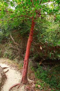 Arbutus menziesii- Pacific Madrone