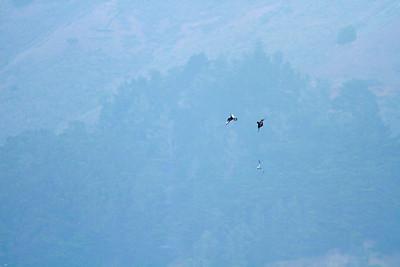 Parasitic Jaegers (Arctic Skuas) harassing terns