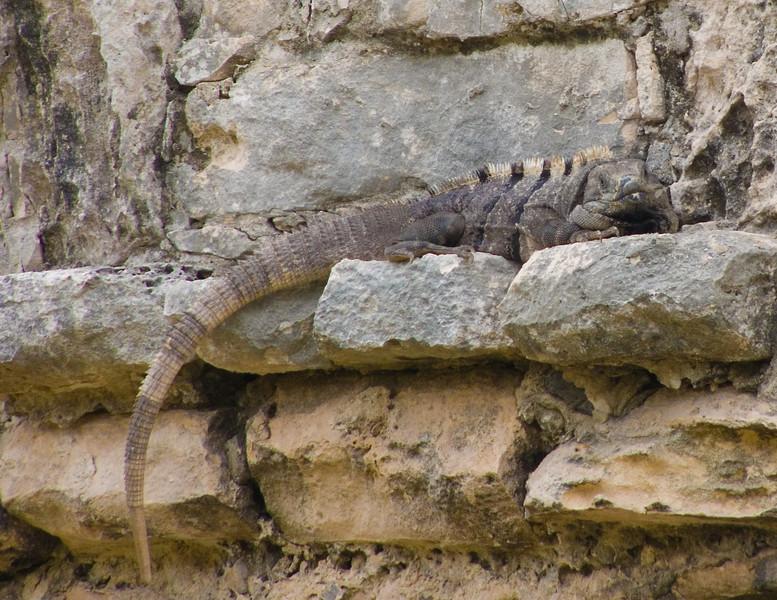 Tulum Iguana 2