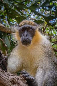Barbados Green Monkey