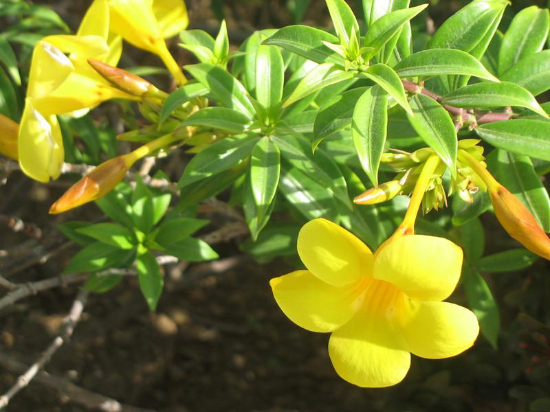 Tortola flowers.