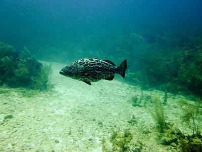 big groupers