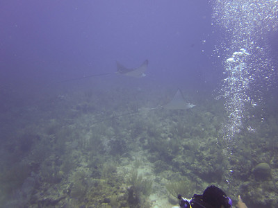 Spotted Eagle Rays!