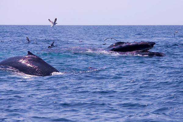 Hump back Whales