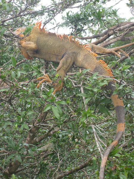On the way to Cano Negro near the Nicaragua border, we stop for a break at a tree filled with iguanas.