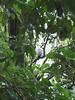 White hawk.