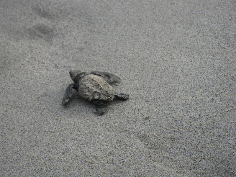 Lucky us - came across some baby turtles making there way from their sand nest to the ocean