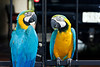 Macaws at the rest stop.