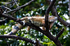 Male iguana wating for his mate in the tree.