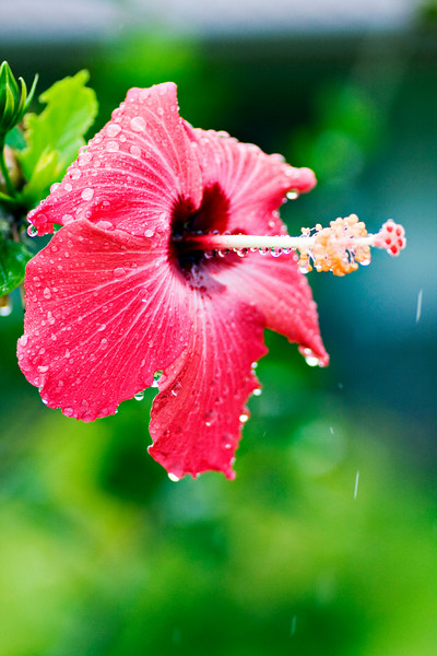 Hibiscus at the Volcano Lodge next to the Arenal Volcano.