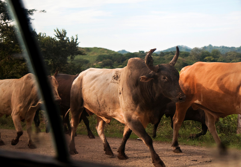 Cattle stampede on the road to Tamarindo.