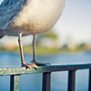 Seagull: Epcot