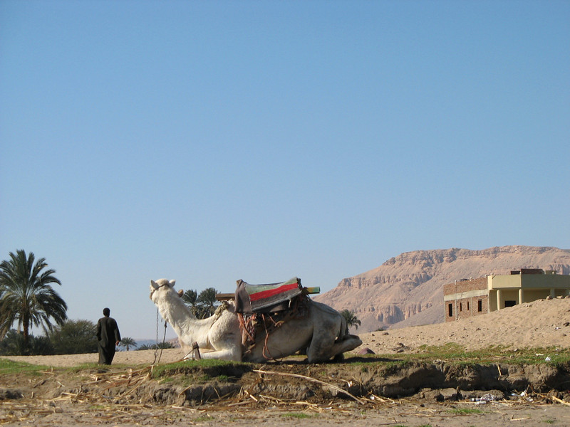 Camel on the bank of the Nile.