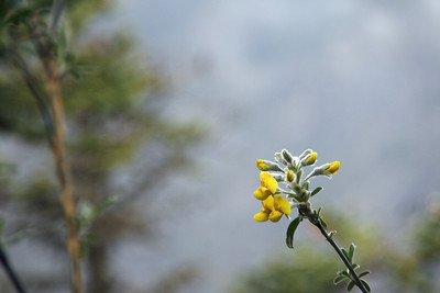 Flowers of the lower Khumbu