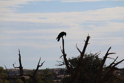 20180715-022 - Canyonlands NP - Raven at Mesa Arch Trailhead
