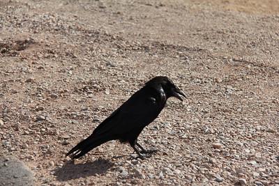 20180715-026 - Canyonlands NP - Raven at Mesa Arch Trailhead