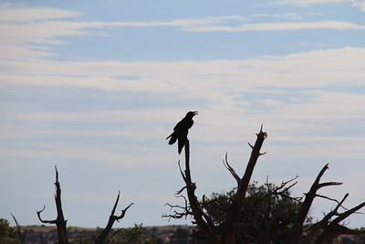 20180715-023 - Canyonlands NP - Raven at Mesa Arch Trailhead