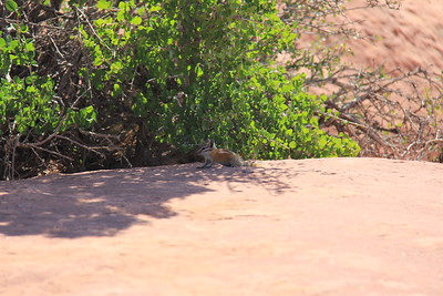 20180715-037 - Canyonlands NP - Chippie at Grand View Point Overlook