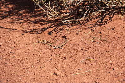 20180715-043 - Canyonlands NP - Tailless Lizard at Grand View Point Overlook