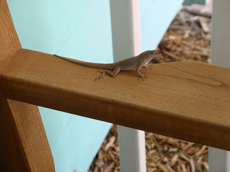 Lizard on Dad's bench.